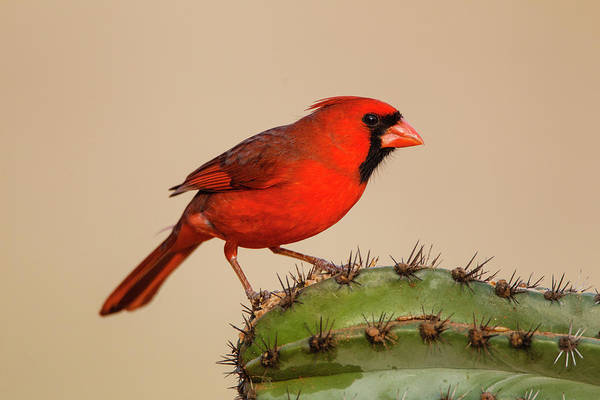 Cardinalis Photograph - Northern Cardinal Male Perched On Cactus by Larry Ditto
