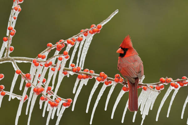 Wall Art - Photograph - Northern Cardinal Male Perched On Icy by Rolf Nussbaumer