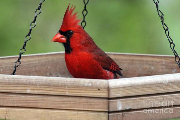 Photograph - Northern Cardinal Photograph by Meg Rousher