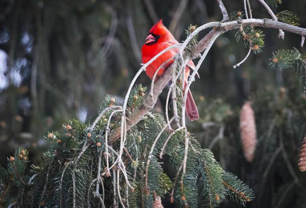 Photograph - Northern Cardinal by Ricky L Jones