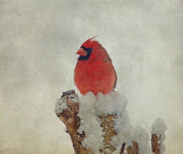 Photograph - Northern Cardinal by Sandy Keeton