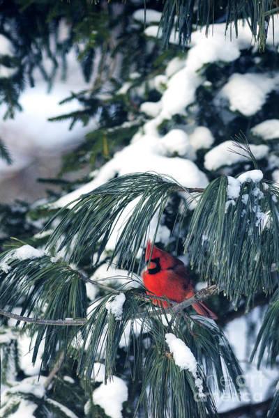 Photograph - Northern Cardinal Snow by Thomas R Fletcher