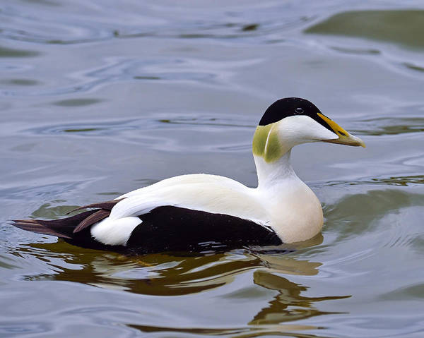 Photograph - Northern Eider by Tony Beck