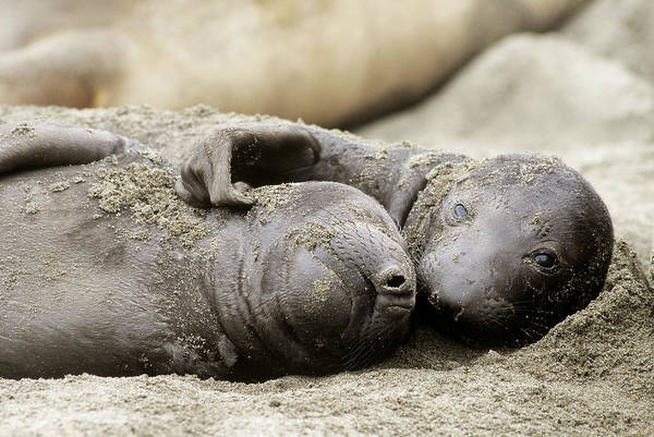Wall Art - Photograph - Northern Elephant Seal Pups by Craig K. Lorenz