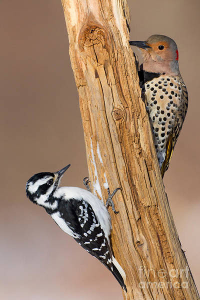 Colaptes Photograph - Northern Flicker And Hairy Woodpecker by Jim Zipp