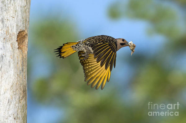 Colaptes Photograph - Northern Flicker by Anthony Mercieca