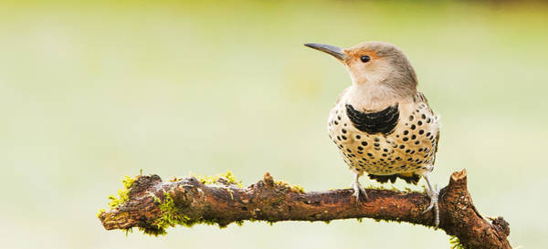 Photograph - Northern Flicker - Colaptes Auratus  by Paul W Sharpe Aka Wizard of Wonders