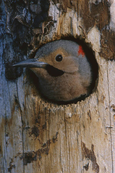 Colaptes Photograph - Northern Flicker In Nest Cavity Alaska by Michael Quinton