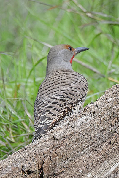 Photograph - Northern Flicker by Jim Thompson