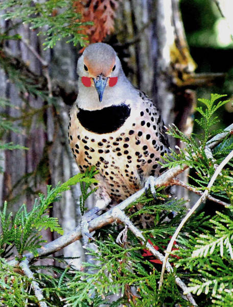 Northern Flicker Painting - Northern Flicker Male by Michael Dohnalek