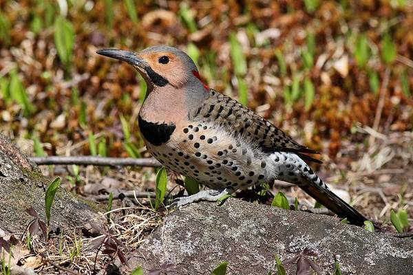 Photograph - Northern Flicker by Mike Farslow