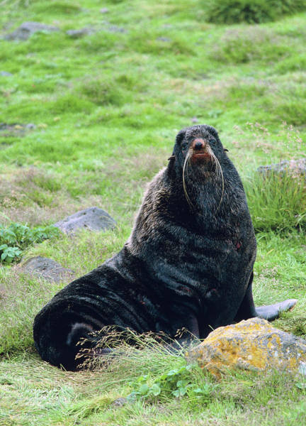 Wall Art - Photograph - Northern Fur Seal by William Ervin/science Photo Library