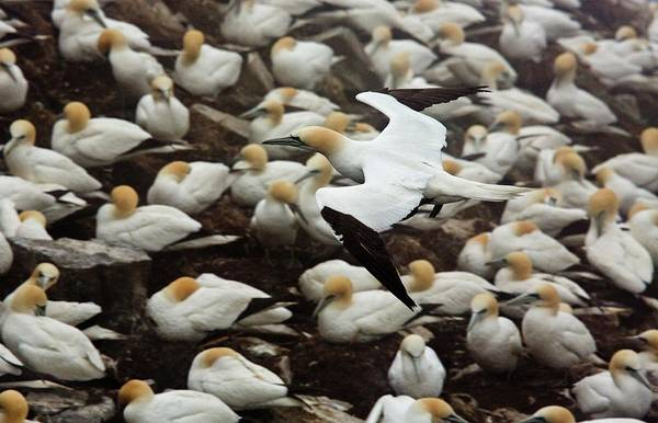 Canadian Fauna Photograph - Northern Gannet Colony by Bob Gibbons/science Photo Library