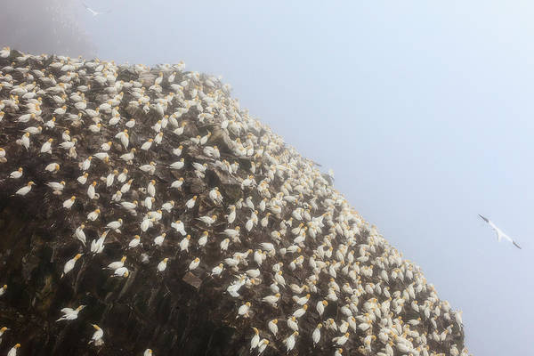 Photograph - Northern Gannet Colony by Perla Copernik