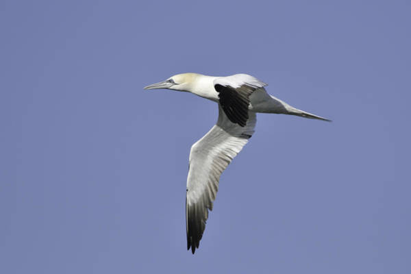 Photograph - Northern Gannet In Flight by Bradford Martin