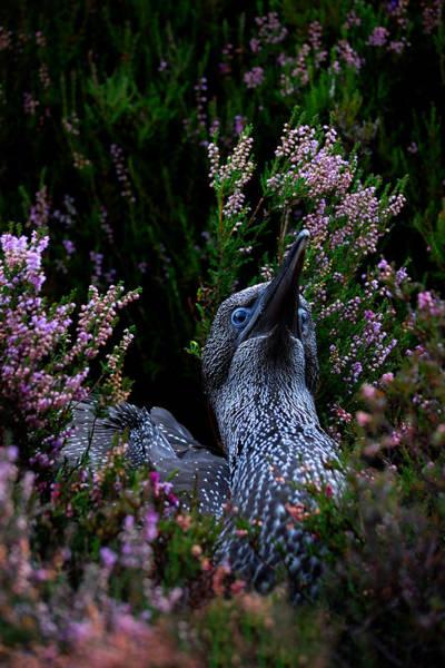 Photograph - Northern Gannet Juvenile by Gavin Macrae