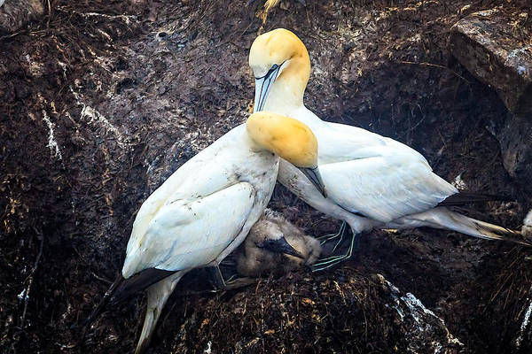 Photograph - Northern Gannets And Chick by Perla Copernik