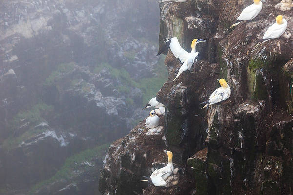 Photograph - Northern Gannets In Cape St. Mary by Perla Copernik
