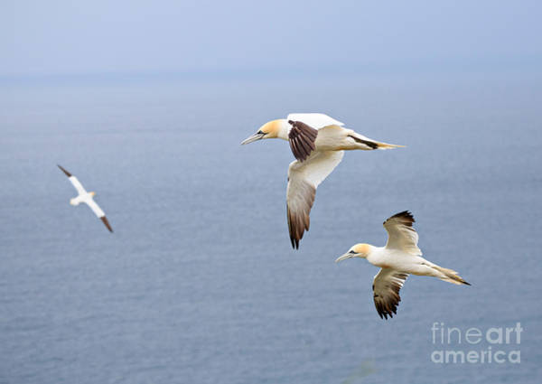 Wall Art - Photograph - Northern Gannets In Flight by Louise Heusinkveld