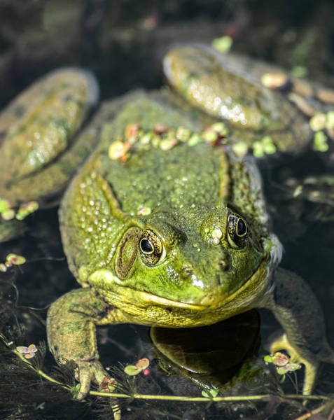 Photograph - Northern Green Frog by Dale Kincaid