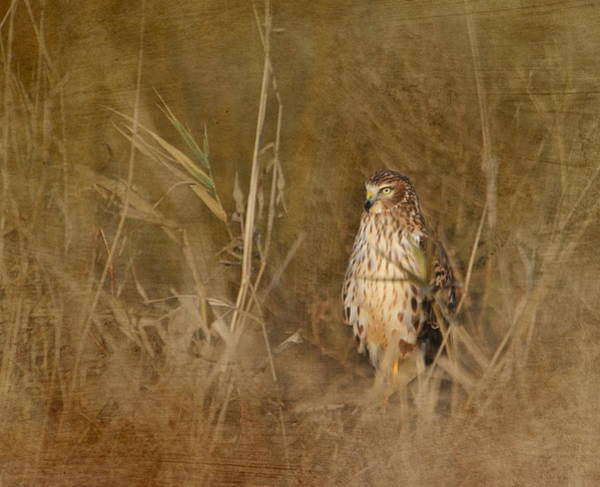 Harrier Photograph - Northern Harrier At Rest by Angie Vogel