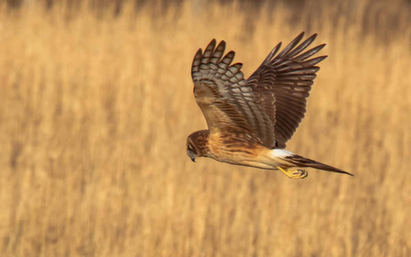 Photograph - Northern Harrier by Doug McPherson