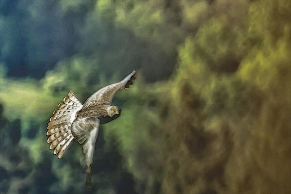 Photograph - Northern Harrier In Flight by Belinda Greb