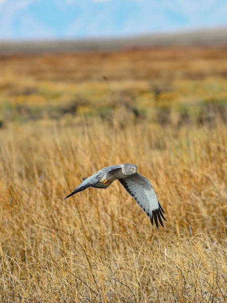 Photograph - Northern Harrier In Flight by Greg Norrell