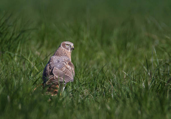 Harrier Photograph - Northern Harrier Portrait by Angie Vogel