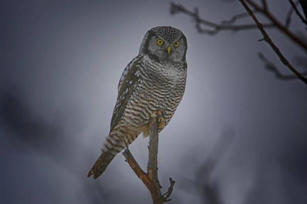 Hawk Creek Photograph - Northern Hawk Owl 2 by Gary Hall