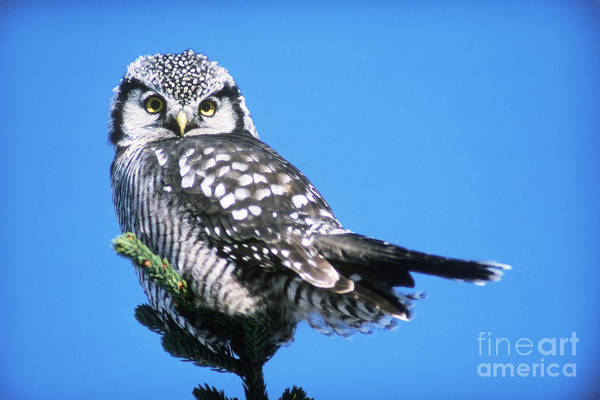 Photograph - Northern Hawk Owl by Art Wolfe