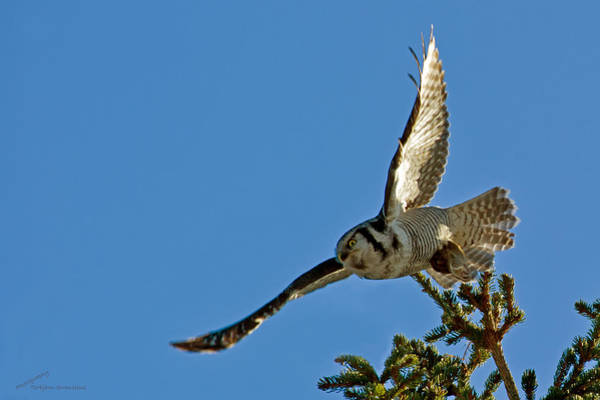 Photograph - Northern Hawk Owl Flying With Its Capture by Torbjorn Swenelius