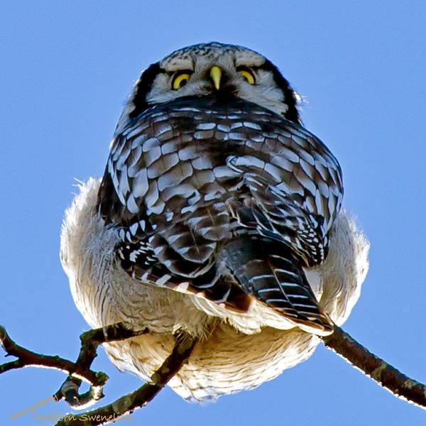 Northern Hawk Owl Looks Around Art Print