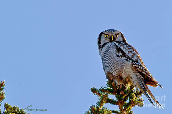 Photograph - Northern Hawk Owl With His Capture by Torbjorn Swenelius