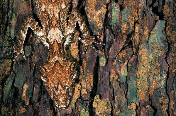 Photograph - Northern Leaftail Gecko Saltuarius by Michael McCoy