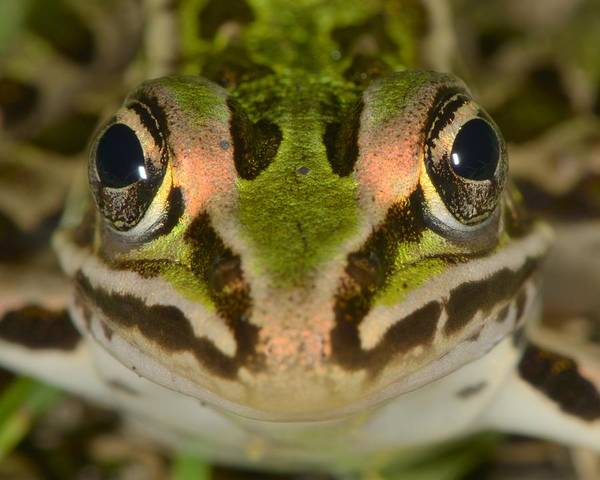 Photograph - Northern Leopard Frog by Tony Beck