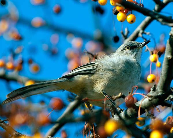 Photograph - Northern Mockingbird by Bob Orsillo