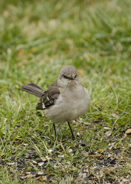 Photograph - Northern Mockingbird by Heather Applegate