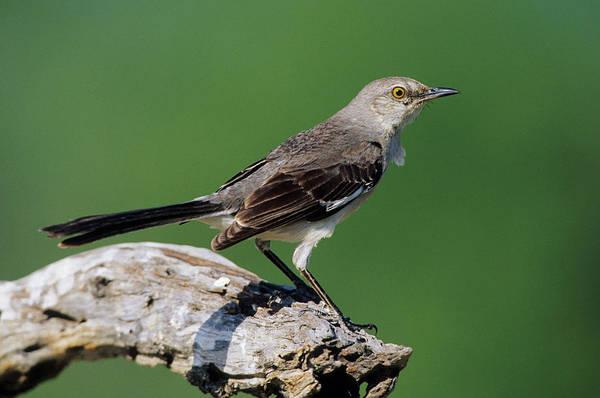 Passeriformes Photograph - Northern Mockingbird (mimus Polyglottos by Richard and Susan Day