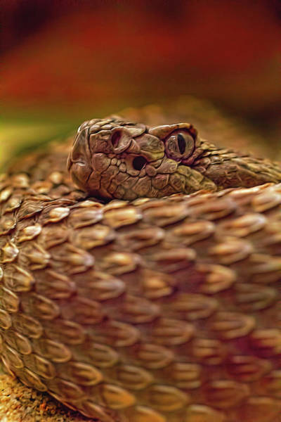 Photograph - Northern Pacific Rattlesnake  by Brian Cross