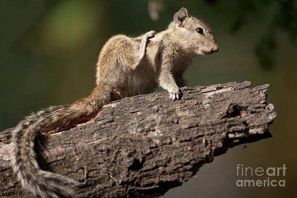Northern India Photograph - Northern Palm Squirrel by Bernd Rohrschneider