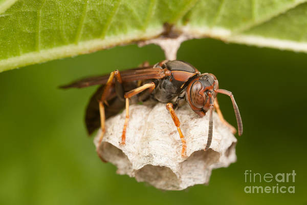 Photograph - Northern Paper Wasp And Nest by Clarence Holmes