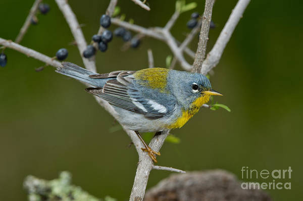 Parulidae Photograph - Northern Parula by Anthony Mercieca
