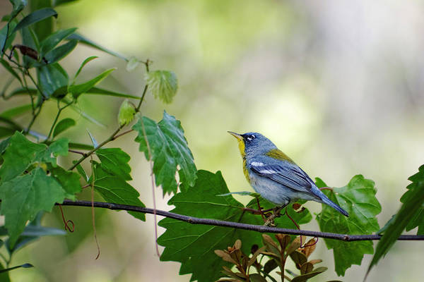 Photograph - Northern Parula I by Dawn Currie