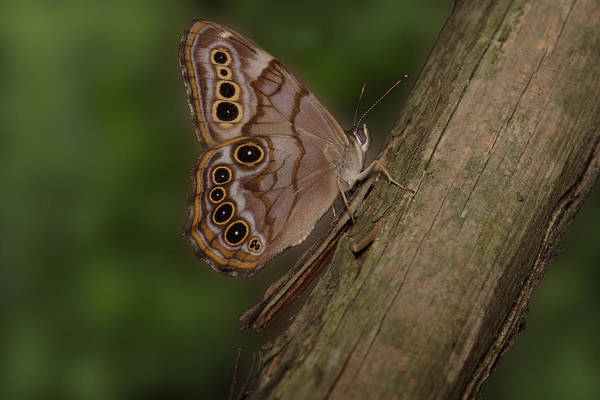 Photograph - Northern Pearly Eye Butterfly by Daniel Reed