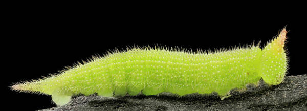 Image Stacking Photograph - Northern Pearly-eye Caterpillar by Us Geological Survey