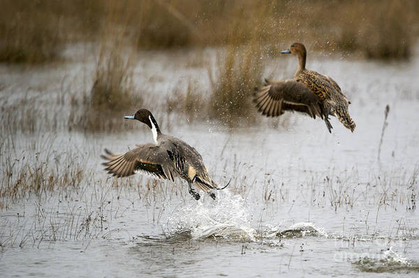 Ducks Photograph - Northern Pintail Flight by Mike Dawson