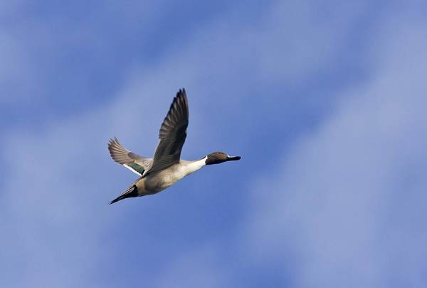 Wall Art - Photograph - Northern Pintail by Bob Gibbons/science Photo Library