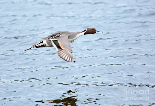 Wall Art - Photograph - Northern Pintail Duck In Flight by Louise Heusinkveld