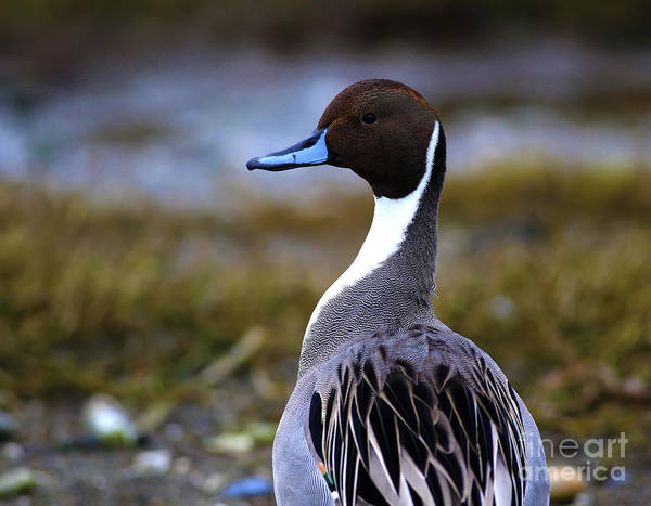 Painting - Northern Pintail Duck by Sue Harper